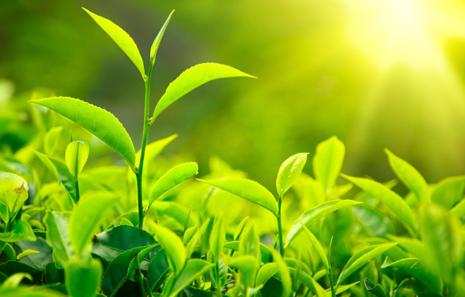 greentea leaves